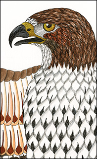 Red-tailed Hawk Drawing