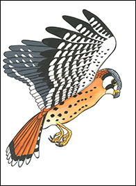 Hovering Kestrel Drawing by Kim Russell